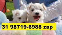 Canil Filhotes Cães BH Lindos Maltês Basset Fox Lhasa Yorkshire Bulldog Shihtzu