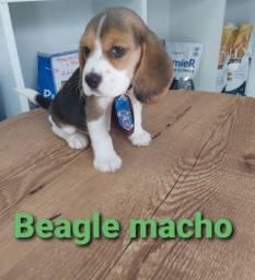 Lindo Beagle Macho