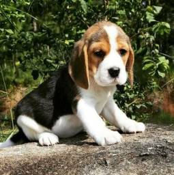 Fofura Beagle
