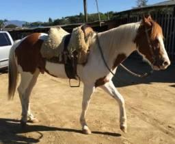 Oferta cavalo Paint Horse, com documento por 10 mi
