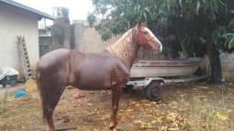 Cavalo manga larga marchador