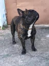 Bulldog Francês procura namorada