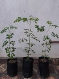Moringa oleífera - árvore da vida (mudas de moringa)
