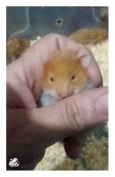 Vendo filhotes de hamster sírio!
