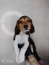 beagle tricolor filhote
