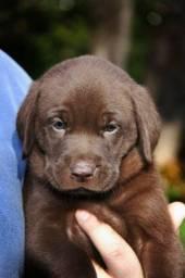 Filhote de labrador chocolate (macho)