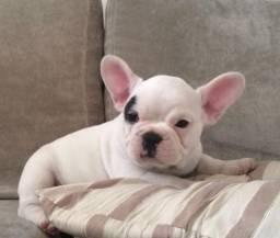 Bulldog Francês pirata/tigrado/fulvo/branco com suporte veterinário gratuito
