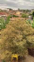Pé de Jabuticaba Produzindo
