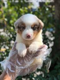Lindos filhotes de Border Collie, a pronta entrega, venha conhecer!!!