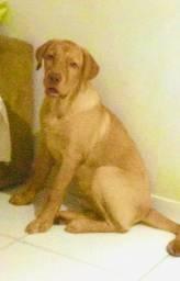 Labrador disponível para cobertura R$ 300,00.