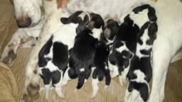 Filhotes de Beagle nascidos dia 18/10/2020
