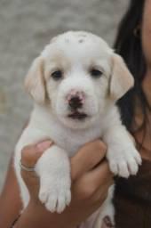 Cachorro labrador misto
