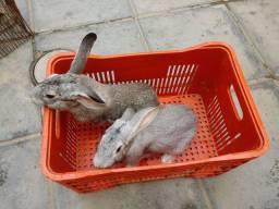 Vendo coelhos Raça Flandres