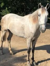 Cavalo bom tordilho , manga larga machador