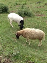 Ovelhas dorper