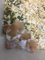 Filhotes de hamsters Sírio