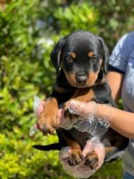 Maravilhosos! Rottweiler à pronta entrega!