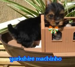 Lindos filhotes Yorkshire micrinho