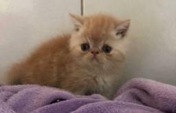 Filhote de gato persa exotico creme macho puro.Parcelo cartão.Entrego em Joinville.Itajai,