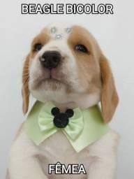 Beagle chama no Whats