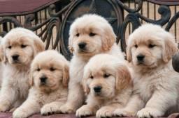 Maravilhosos Filhotes De Golden Retriever Com Pedigree !!