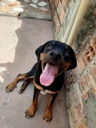 Rottweiler com 5 meses