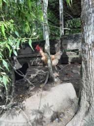Vendo 4 galinhas