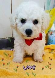 Poodle macho