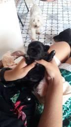 Shih Tzu + Poodle = Shihpoo