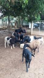 Vendo ou troco ovelhas