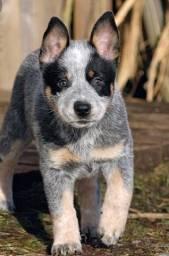 ^^ cães belos... Blue heeler filhote com pedigree e garantia de saúde