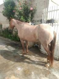 Cavalo Criolo com manga Larga Marchador