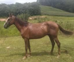 Cavalo Registrado Mangalarga marchador (marcha picada)