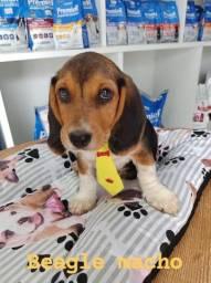 Beagle com garantia e procedência, venha conferir!