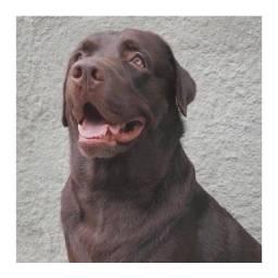 Labrador macho para cruzar
