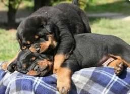 Rottweiler Filhote Macho e Fêmea com Pedigre