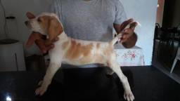 Foxhound americano puro