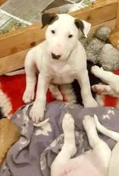 Filhotes de Bull Terrier Inglês disponíveis, com contrato e garantias !!!