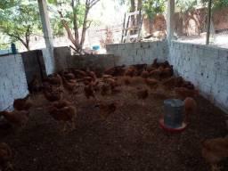 Vendo frangos rodilan pesadão