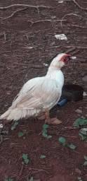 Pato e patas