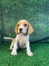 Temos Lindos Filhotes de Beagle