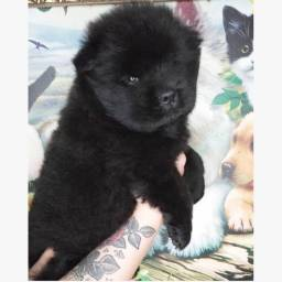 Chow chow macho black