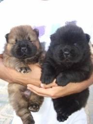 Chow-chow laranjinha/creme e pretinho, machos e femeas com assistência veterinária