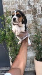 Beagle macho e fêmea a pronta entrega
