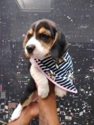 Filhotinhos de Beagle , Disponíveis nas cores bicolor e tricolor!!!