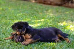 Filhote de Rottweilers (Fêmeas e Machos) R$ 900 e R$ 700