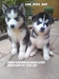 Husky Siberiano : Femeas olhos azuis C/Pedigree