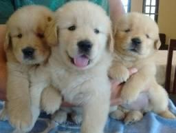 Maravilhosos Filhotes De Golden , Disponiveis a Pronta Entrega!!