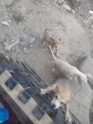 Cadelas filhotes para adoção