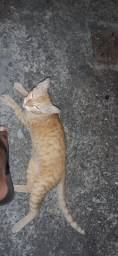 Gato maxo filhote